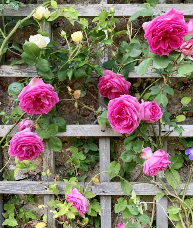 springwells_garden_roses_sml
